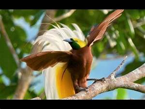 Lesser Bird-of-Paradise - YouTube