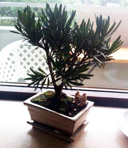 bonsai arten indoor steineibe podocarpus macrophylla als bonsai