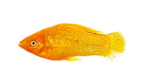 orange  black molly fish stock illustration image