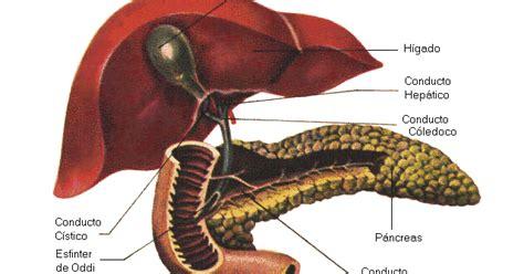 en diabetes el control es vida anatomia  fisiologia del