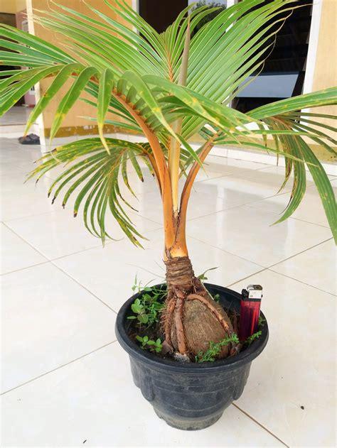 jual bibit tanaman hias bonsai kelapa orange gambar asli