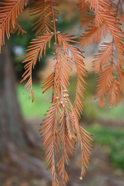 dawn redwood uri botanical gardens blog