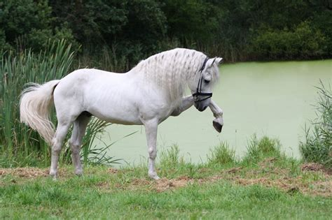 andalusian horse hd breeds wallpapers frisian cool sjamaan breed conformation deviantart brown pre