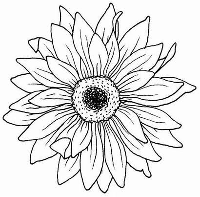 Flower Aster Flowers Coloring Drawing Blooming Drawings
