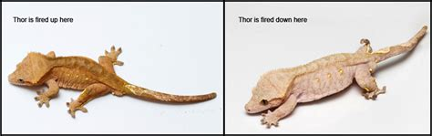 Crested Gecko Shed Stuck On Eye by Care Sheet Fired Up Geckos