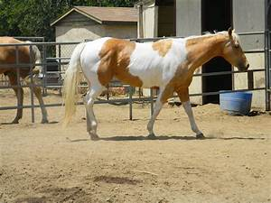 Palomino Paint Horse Stock 8 by thetautoutrain on DeviantArt