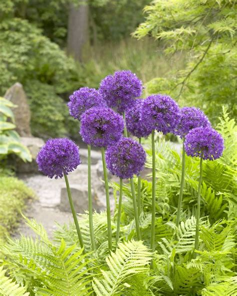 what to plant with allium allium lovely flowers pinterest