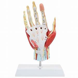 Axis Scientific Anatomy Model Of Hand With Muscles