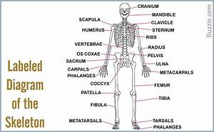Human Skeleton Pictures With Labels   Human Skeleton