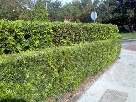 hedge bushes florida hedges