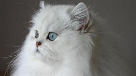 chat persan gris chat persan tout sur la race de chat persan