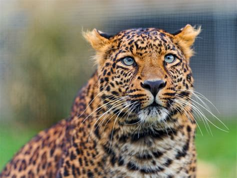 Amur Leopard Cat View Tambako The Jaguar