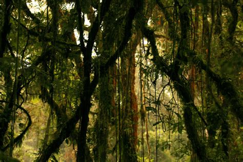 Long Considered Treekillers, Lianas May Actually Help