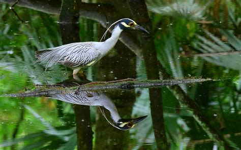 yellow crowned swamp bird  search  food lake martin