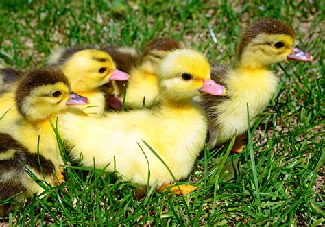 Ducklings And French Guinea At Walden Frs Walden Farm