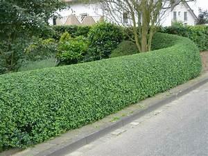 Liguster Planten Blote Wortel 6090 Cm Spotgoedkoop