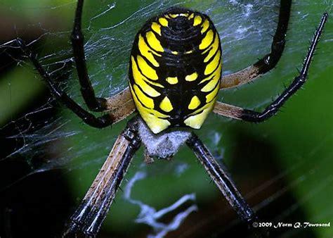 Yellow Garden Spider Female
