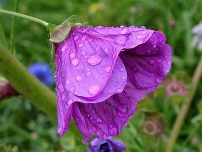 Flowers Wet Screensaver Flower Violet Screensavers Rain