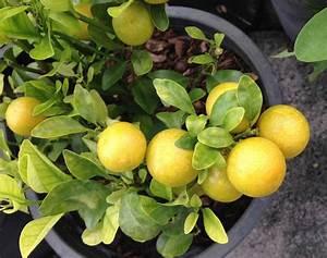 Dünger Für Zitronenbaum : zitronenbaum d ngen wann wie womit richtig d ngen plantura ~ Watch28wear.com Haus und Dekorationen