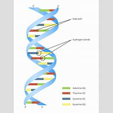 Unravelling The Double Helix  Stories Yourgenomeorg