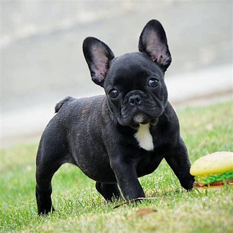 Veja Fotos De Fil Es De Bulldog Frances E De Caesos