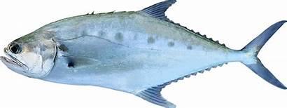 Queenfish Giant Nt Fish Scientific Species Fishing