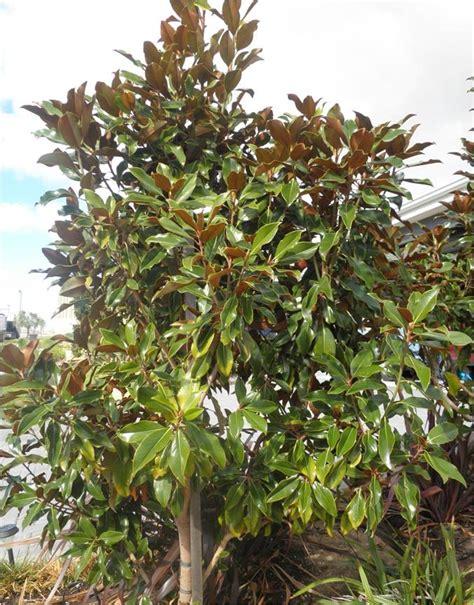magnolia tree varieties australia evergreen trees tree nursery western australia mature trees advanced trees perth