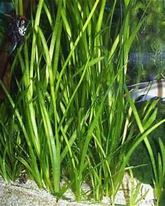 Vallisneria Spiralis Italian   www.pixshark.com - Images ...