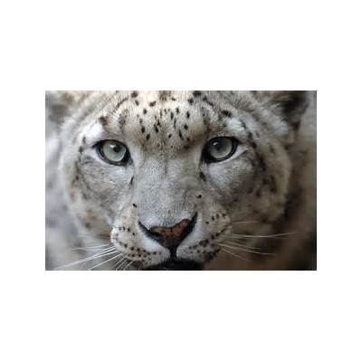 Snow Leopards - WCS.org
