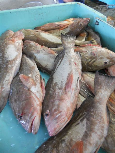 grouper fresh florida docks collier grant extension sea county august
