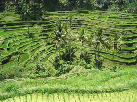 rice field terrace rice field terrace  tegallalang