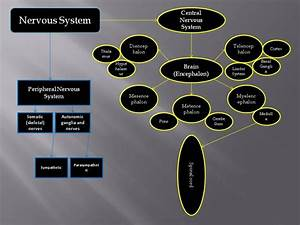 Concept Map (Nervous System)   Science, Philosophy ...