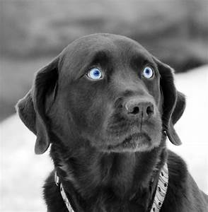 Chocolate Lab Dog With Blue Eyes