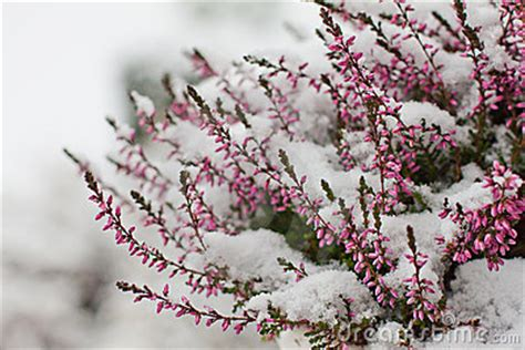 snow covered flowers royalty  stock photo image
