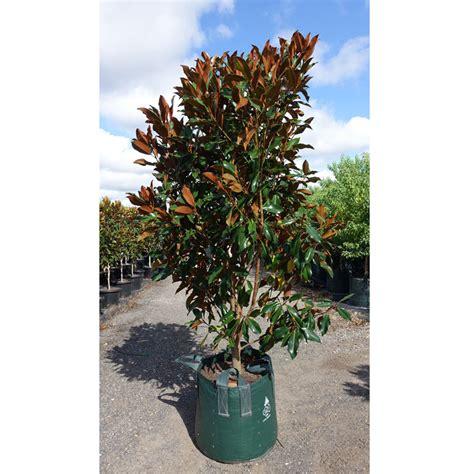 magnolia grandiflora key large 100l pot