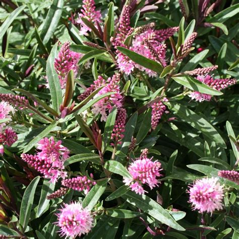 tully nurseries exclusive hebes