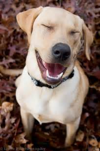 Smiling Yellow Lab Dogs