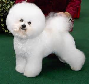 hypoallergenic dogs hypoallergenic no shed dogs