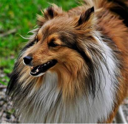 Sheltie Dog Breed Portrait Dogs Wallpapers Animals