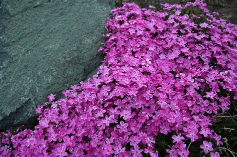 perennial groundcover   plant   sunny slope
