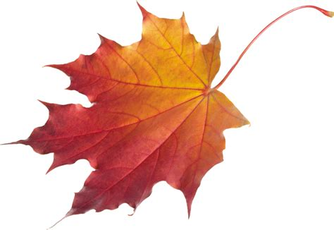 fall leaf autumn leaves png images free png yellow leaves pictures