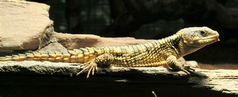 tailed lizard file cordylus tropidosternum east african spiny tailed lizard jpg wikimedia commons