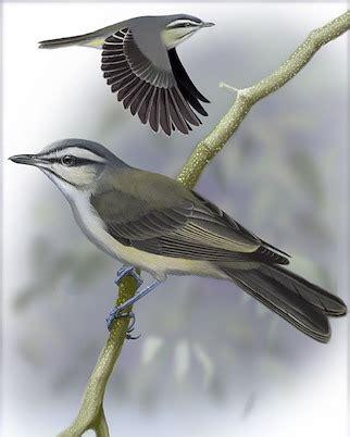 Blackwhiskered Vireo Whatbirdcom