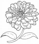 Flower Zinnia Drawing Line Zinnias Drawings Google Flowers Coloring Butterflies Brooklyn Plant Them Fabric Painting Elegans Paintingvalley sketch template
