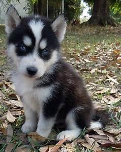 Snow Angels Siberian Huskies SO CUTE!! | Animals ...