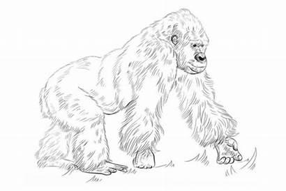 Gorilla Coloring Silverback Sub Drawings Dwelling Gorillas