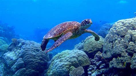 sea turtle swimming underwater scene coral image desktop