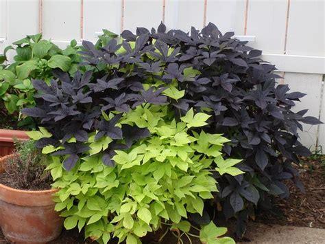 sweet potatoe vine ornamental sweet potato vines sweet potato vine pinterest