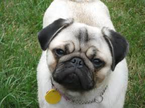 Cute Pug Puppies Dog