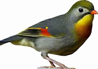 Burung Robin Gambar Suara Pekin Gacor Cantik